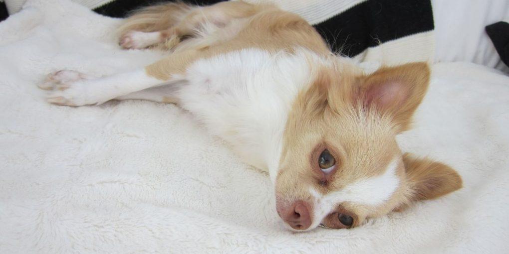 Chihuahua hygiene