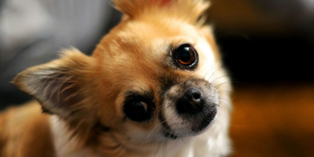 Chihuahua's History